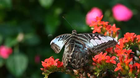 мотылек : Exotic Butterfly close-up in a tropical garden