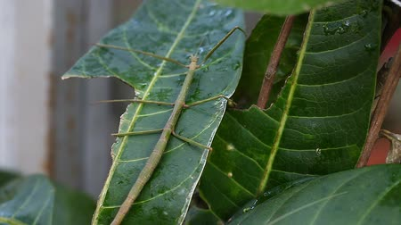 anten : Exotic tropical insects in the terrarium of Thailand. Insects of Asia Stok Video