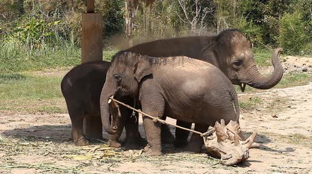 Family of Asian elephants with his baby elephant on an elephant farm in Thailand Stock Footage