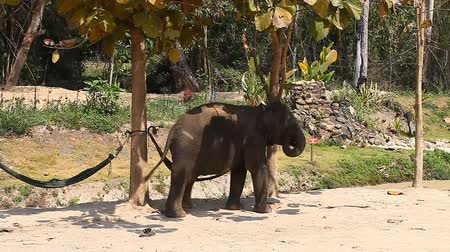 marfim : A family of Asian elephants on an elephant farm in Thailand