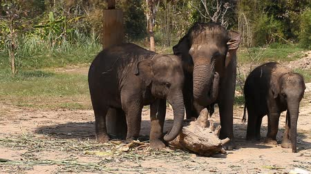 marfim : Family of Asian elephants with his baby elephant on an elephant farm in Thailand Stock Footage