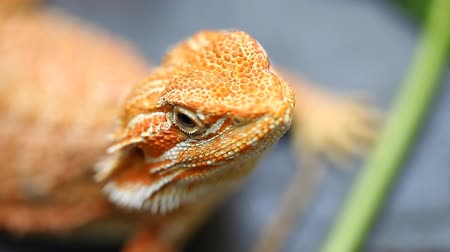 pogona : Lizard Agama - a common species of reptiles in Asia