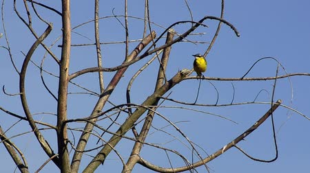 springtime : Yellow Wagtail (Motacilla flava), upon the branches of a tree on sunset.