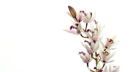 orchideák : Beautiful orchids rotating on white background.