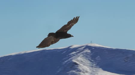 orel : Slow motion of elegant eagle flying over the high snowy mountains. Parallax animation of a photo.