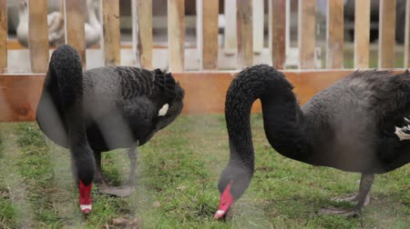 tasmania : wild black swans under the cage