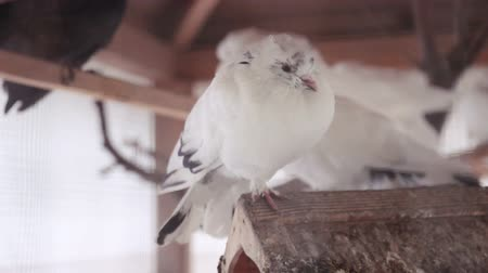 pigeon nest : pigeons rest on display Stock Footage
