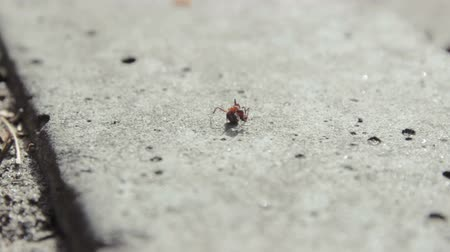 firebug : ants running at asphalt and share the food