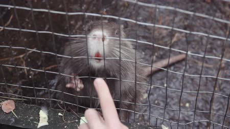 nutria : Nutria with orange teeth in the cage Stock Footage