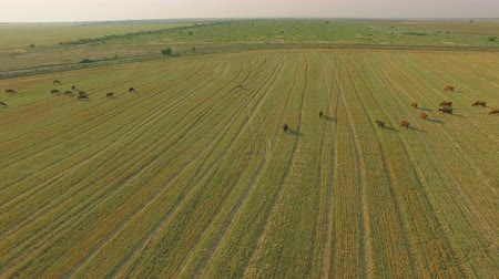 üreten : Aerial view cattle group of cows walking slowly over beautiful pasture landscape