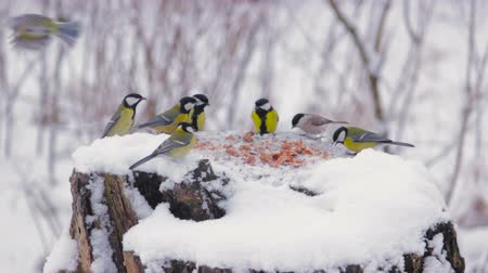 karmnik : Blue tit and great tit at the feeder in winter