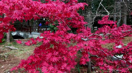 Japanese maple tree, red leaves, fall colors, Japanese garden, Japanese Park, red leaves closeup background, fall red Dostupné videozáznamy