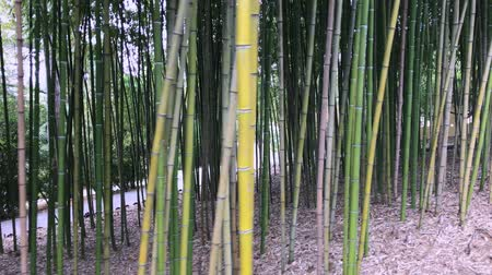 brotos : Bamboo, bamboo leaves, bamboo grove, bamboo stalk Vídeos