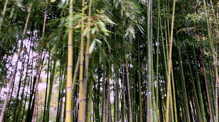 Bamboo, bamboo leaves, bamboo grove, bamboo stalk Stockvideo