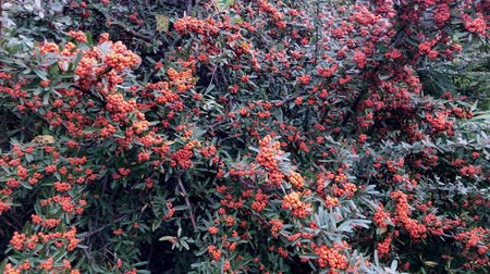 древесный : Mountain ash, red berry clusters of mountain ash