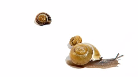 salyangoz : group of garden snails gathering and then splitting their own way