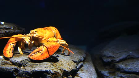 A bright yellow lobster moves underwater in a rocky setting