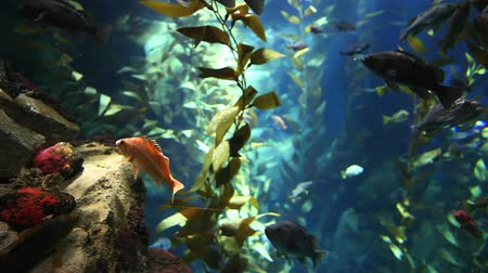 chaluha : Fish drift through kelp in Pacific Kelp Forest Dostupné videozáznamy