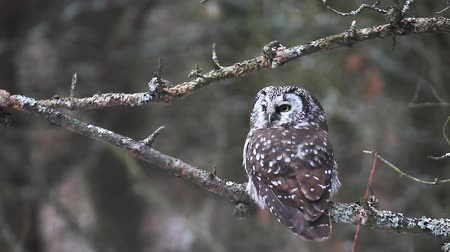 kapatmak : A Boreal Owl, Aegolius funereus, a rare owl of Northern woods Stok Video