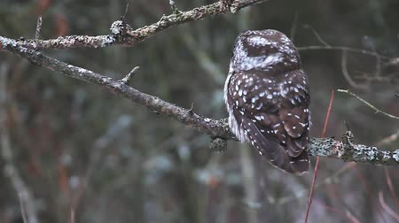 moudrý : Close view of Boreal Owl, Aegolius funereus