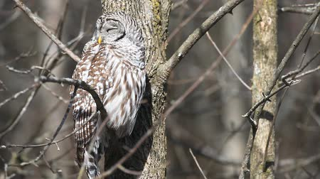 moudrý : A sleepy Barred Owl, Strix varia