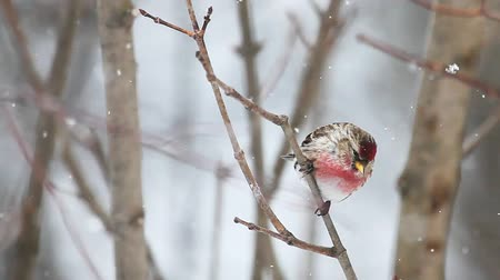 télen : Common Redpoll in the snow