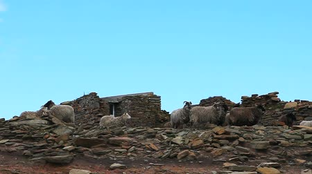chaluha : A view of North Ronaldsay Sheep in Orkney