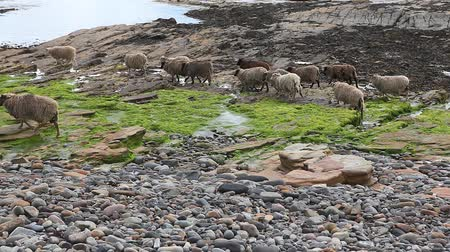 chaluha : View of North Ronaldsay Sheep in Orkney