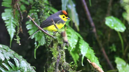 collared : A Collared Redstart (Myioborus torquatus) in the cloud forest of Costa Rica Stock Footage