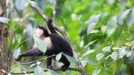 małpa : Wild White-faced Capuchin (Cebus capucinus) monkey relaxing Wideo