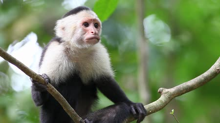 małpa : Wild White-faced Capuchin (Cebus capucinus) monkey grooming Wideo