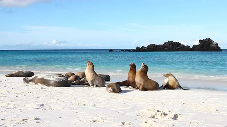 ostrovy : Group of Galapagos Sea Lion, Zalophus wollebaeki