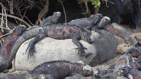 ostrovy : A group of The Marine Iguana, Amblyrhynchus cristatus, from the Galapagos Dostupné videozáznamy