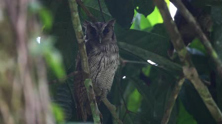 buho : Tropical Screech Owl, Megascops choliba, dormideros Archivo de Video