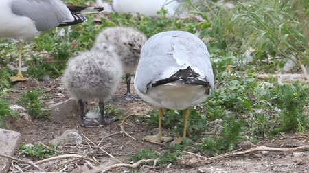 hnízdo : Ring-billed Gull chicks with parent