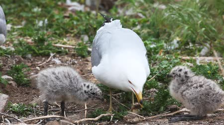hnízdo : Pair of Ring-billed Gull chicks with adult