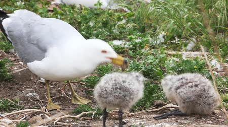 racek : Pair of Ring-billed Gull chicks with parent