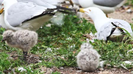 чайка : Two Ring-billed Gull young with parent