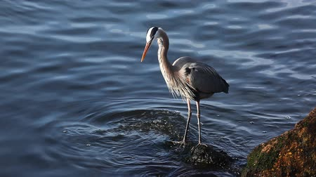 remek : A Great Blue Heron waits for a meal to come by