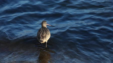 limosa : A Marbled Godwit searches for food along the shore Stock Footage