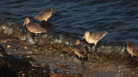 limosa : Marbled Godwits search for food