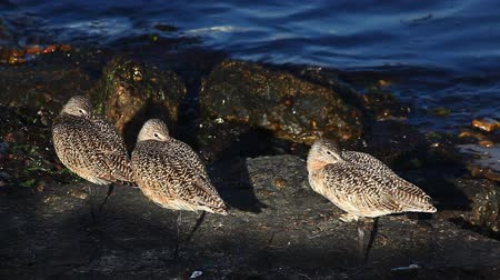 limosa : Marbled Godwits rest along the shore Stock Footage