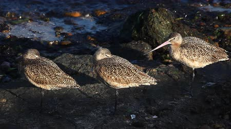limosa : Marbled Godwits rest along the Pacific shore