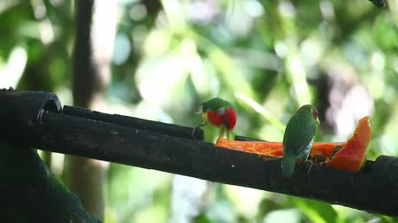 barbet : Pair of Red-headed Barbet, Eubucco bourcierii, at a feeder in Ecuador Stock Footage
