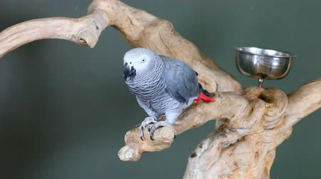 papuga : An African Grey Parrot, Psittacus erithacus Wideo