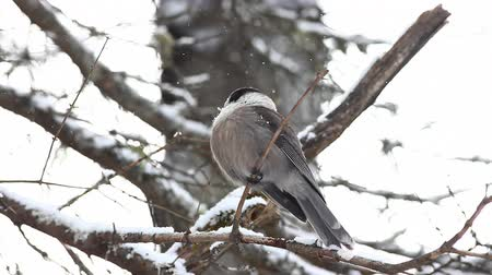 télen : Gray Jay, Perisoreus canadensis, puffs his feathers in Algonquin