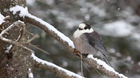 télen : Gray Jay, Perisoreus canadensis, in falling snow in Algonquin in Ontario