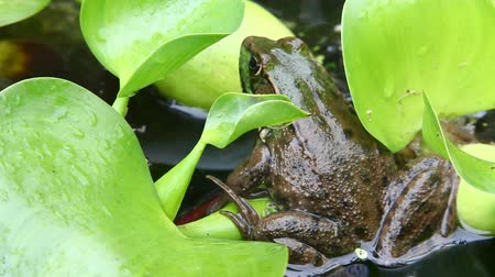 toad : Green Frog, Lithobates clamitans, sitting on a lily pad