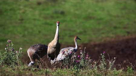 sandhill crane : Sandhill Crane family group feeding in a field Stock Footage