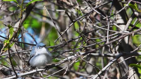 ave canora : Blue Gray Gnatcatcher, Polioptila caerulea, in song